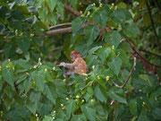 Junger Nasenaffe Borneo