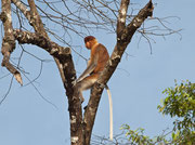 Nasenaffe Borneo