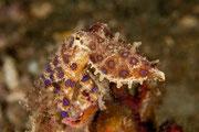 Blauring-Oktopus