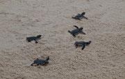 Turtle Lankayan Borneo
