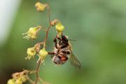 Hummel beim Sammeln von Blütenstaub