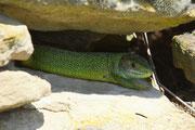 Smaragdeidechse beim Aufwärmen