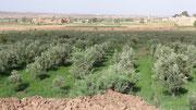 Culture d'oliviers non loin de l'oued