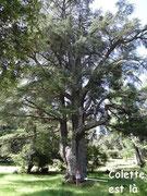Les cèdres de la forêt sont énormes