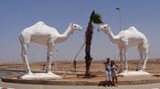 A Tan Tan, 2 chameaux nous souhaitent la bienvenue