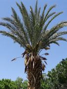 Un palmier mâle