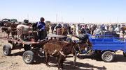 Les animaux vendus repartent en charrettes ou en camion chez leur nouveau propriétaire