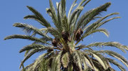 Un palmier femelle
