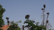Aïn Leuh : arbres à cigognes: nous avons compté une quinzaine de nids