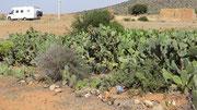 Culture de figues de barbarie près de Sidi Ifni