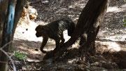 Un magot passe près de nous dans la forêt