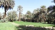 Cultures dans la palmeraie