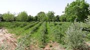 Une plantation de rosiers, qui vont commencer à fleurir