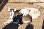 Siberian husky  Welpen Spray  und  Texas