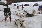 6er Gespann Huskys  nach einer tollen Schlittenhundetour