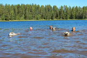 Lappland Schwimmtraining mit den Huskys