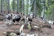 Siberian Huskys im Auslauf