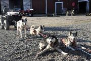 zufriedene  Siberian Husky  Hunde  nach  dem  Laufpass