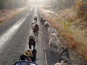 12er Schlittenhundegespann im Herbstträning