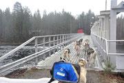 Brückenüberquerung  mit  dem Hundegespann