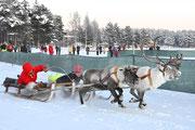 das  traditionelle  Rentierrennen