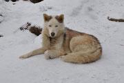 Yakoot of Seppalta ( 97 % Seppala strain) geniesst im Schnee