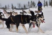 Leithunde Navajo und Yorm  lieben es auf Huskytour zu gehen