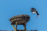 Weißstorch ( Ciconia ciconia ) im Anflug zum Horst