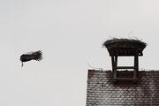 Weißstorch ( Ciconia ciconia )