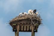 Weißstorch ( Ciconia ciconia ) beim füttern der 3 Jungvögel