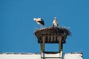 Weißstorchpaar am Horst in Trabitz