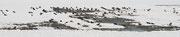 Kiebitze ( Vanellus vanellus )