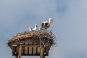 Weißstorch ( Ciconia ciconia ) mit den 3 Jungvögel