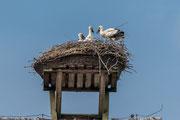 Weißstorch ( Ciconia ciconia ) 3Jungvögel