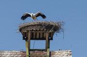 Weißstorch ( Ciconia ciconia ) Jungvogel