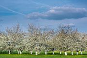 Kirschbäume bei Gräfenberg