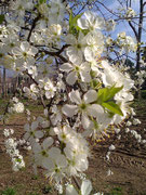 TATIANA - Primavera,fiori di ciliegio. Significato: bellezza,femminilità, fortuna, transitorietà della vita