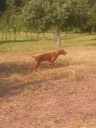 Bailey macht sich gut als Vorsteh-Hund