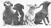 Nackthunde um 1900.