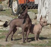 CobbyTypeXolo,heute (wahrscheinlich mit geringem Chihuahua-Anteil,wie Heintje.Doch ohne Vorbiss,weshalb der Fang spitzer wirkt.)
