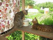 Отец и мать котенка