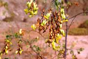 Blühte einer Tabakpflanze