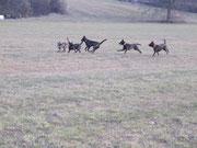 Herder-Meute beim Spielen, Döner - Fly - Lausbua - Aika -Hexe