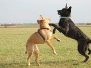 Lausbua spielt mit einer Hundedame