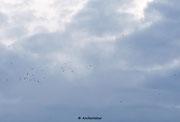 21:17 Uhr, Es tauchen immer mehr Altsegler mit lauten Rufen am Himmel auf. Es ist absolut Windstill