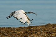 Ibis sacré  © E .LAUCHER