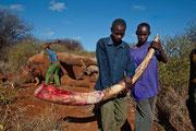 Taglio delle zanne di un elefante ucciso illegalmente in Kenya