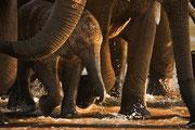 Un elefantino appena nato attraversa lentamente il fiume Ewaso Ngiro, nella Riserva nazionale di Samburu, in Kenya