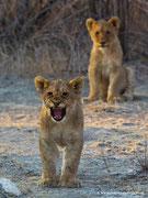 Gut gebrüllt, kleiner Löwe!!