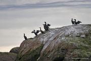 Ein paar der Kormorane, die sich auf der Insel Anda tummeln.